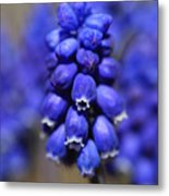 Grape Hyacinth - Muscari Metal Print
