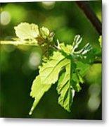 Grape Leaves In Spring Metal Print