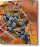 Grape Vine Closeup Metal Print