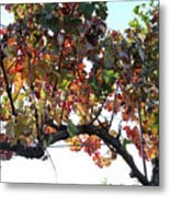 Grape Vine In Autumn Metal Print