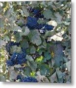 Grape's At Harvest Time Metal Print