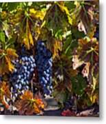 Grapes Of The Napa Valley Metal Print by Garry Gay