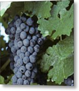 Grapes On The Vine Metal Print by Kenneth Garrett