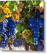 Grapes Ready For Harvest Metal Print