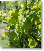 Grapevine In Early Spring Metal Print