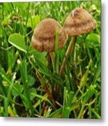 Grass Mushroom Pair           Tubaria Fungii           May           Indiana Metal Print