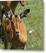 Grassland Deer Metal Print