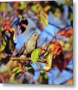 Gray Catbird Framed By Fall Metal Print