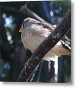 Gray Crowned Rosy Finch   Metal Print