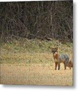 Gray Fox In Lower Pasture Metal Print