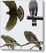 Gray Hawk Collage Metal Print