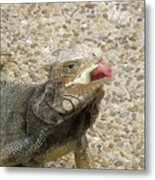 Gray Iguana Eating Lettuce With His Pink Tongue Sticking Out Metal Print