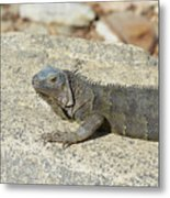 Gray Iguana Sunning And Resting On A Large Rock Metal Print