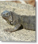 Gray Iguana With Long Talons Sitting On A Rock Metal Print