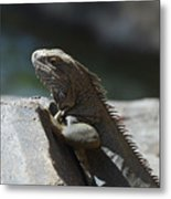 Gray Iguana With Spines Along His Back On A Rock Metal Print