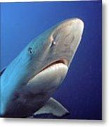Gray Reef Shark Metal Print