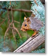 Gray Squirrel Pictures 93 Metal Print