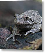 Gray Treefrog On A Log Metal Print