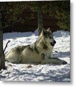 Gray Wolf 6 Metal Print