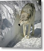 Gray Wolf 7 Metal Print