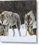 Gray Wolves Norway Metal Print