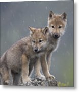 Gray Wolf Canis Lupus Pups In Light Metal Print