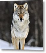 Gray Wolf In The Snow Metal Print