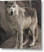 Gray Wolf On A Rock Metal Print