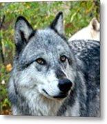 gray Wolf Pair Metal Print