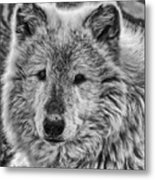 Gray Wolf Portrait Metal Print