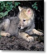 Gray Wolf Pup With Prey Metal Print