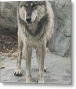 Gray Wolf Stare Metal Print