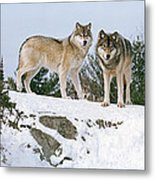 Gray Wolves Canis Lupus In A Forest Metal Print