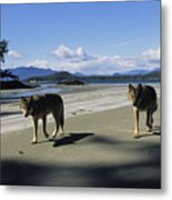 Gray Wolves On Beach Metal Print