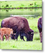 Grazing Bisons Metal Print