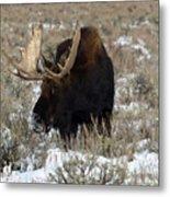 Grazing Bull Moose Metal Print