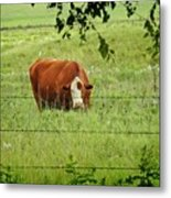 Grazing Cow Metal Print