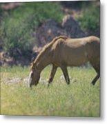 Grazing Wild Mustang  Metal Print