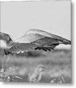 Great Blue Egret In Flight Metal Print