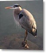 Great Blue Heron - 5 Metal Print