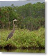 Great Blue Heron Along Cedar Creek Metal Print
