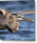 Great Blue Heron Close-up Metal Print