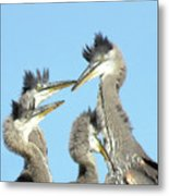 Great Blue Heron Discussion Metal Print