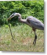 Great Blue Heron Eating Snake  Metal Print