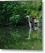 Great Blue Heron Hunting Fish Metal Print