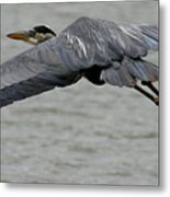 Great Blue Heron In Flight 1 Metal Print