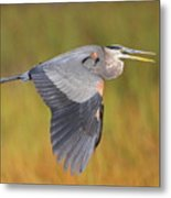 Great Blue Heron In Flight Metal Print by Bruce J Robinson