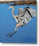 Great Blue Heron Landing In The Marsh Metal Print