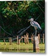 Great Blue Heron Mouth Metal Print