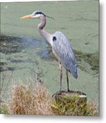 Great Blue Heron Near Pond Metal Print